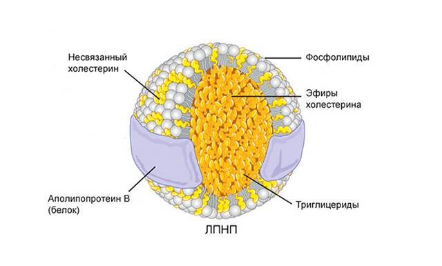 Молекула ЛПНП
