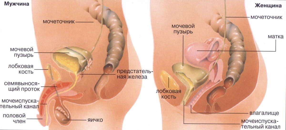 структура м и ж