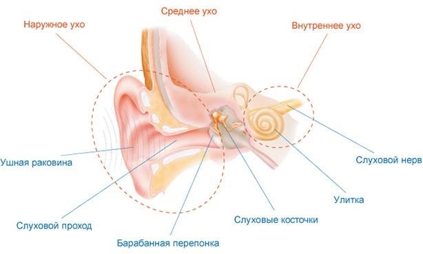 Строение ушной полости