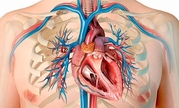 Расположение сердца в грудной клетке в норме