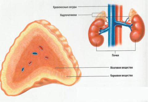 Анатомия органа
