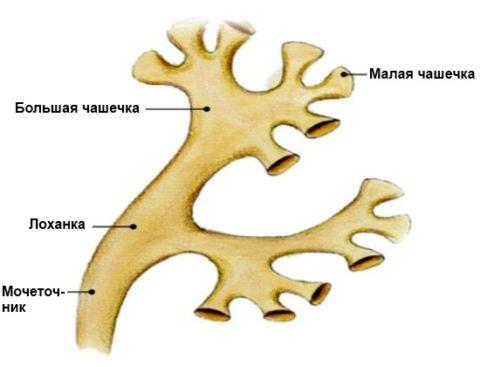 Чашечно-лоханный сегмент почек также подвергается диффузным изменениям.