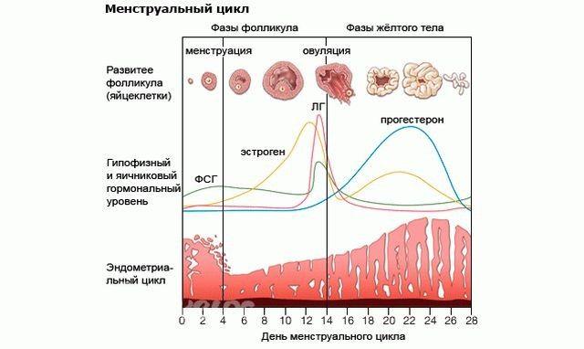 Изменения в организме в течение менструального цикла