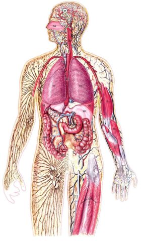 Человеческий организм – единая система, для которой важен каждый орган