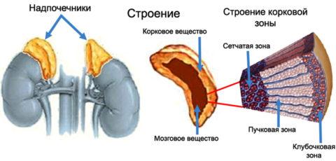 Каждая зона коры надпочечников ответственная за синтез собственных гормонов.