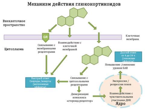 Механизм действия ГКС