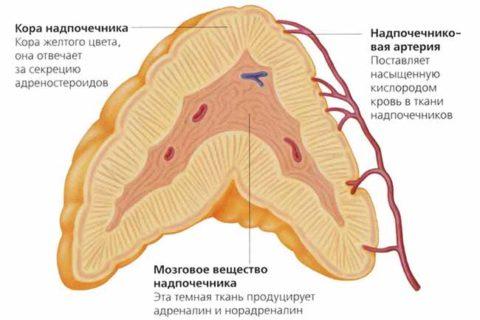 На фото можно увидеть анатомическое строение надпочечников.