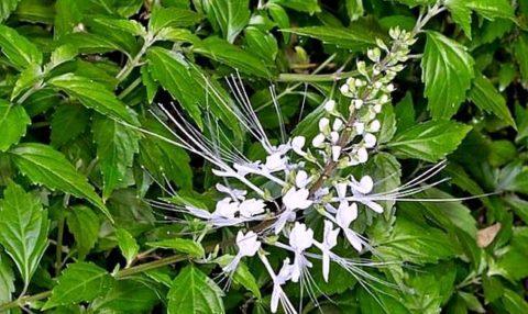 Ортосифон тычиночный произрастает на северо-востоке Австралии и островах Океании