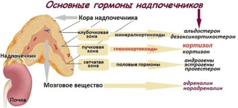 Основные гормоны, продуцируемые органом