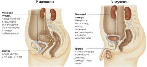 Отличительные особенности строения мочеполовой системы у мужчин препятствуют проникновению инфекций.