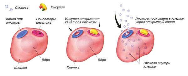 Действие инсулина