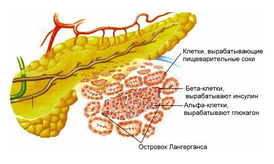 Клетки поджелудочной