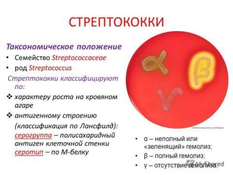 Стрептококк – один из наиболее опасных видов возбудителей заболевания