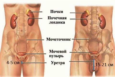 У женщин уретра – мочевыводящий канал, короче и шире мужского