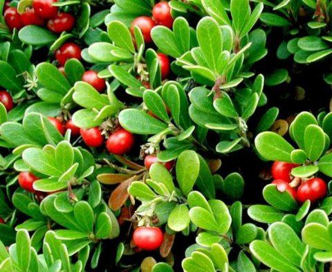 Ягоды и листья толокнянки